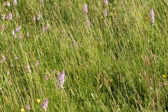 Common spotted orchids in bloom