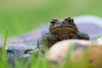 Common toad (Bufo bufo) on gardening glove amongst grass