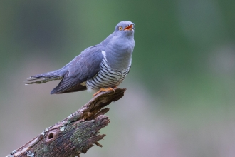 "Cuckoo perched and in mid ""cuckoo"""