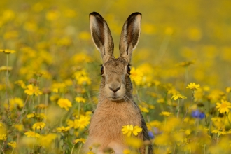 Brown hare with corn marigolds