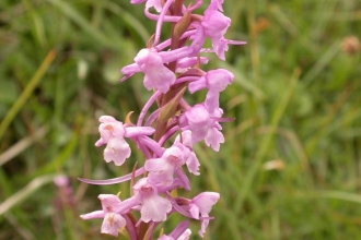 A fragrant orchid in bloom