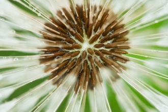 An extreme close-up of the centre of a dandelion