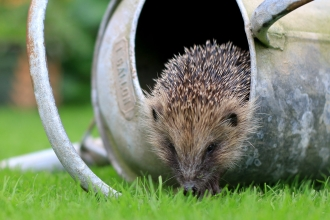 Hedgehog in watering can