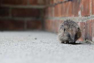 A hedgehog walking alongside a brick wall
