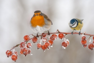 Robin and blue tit in winter