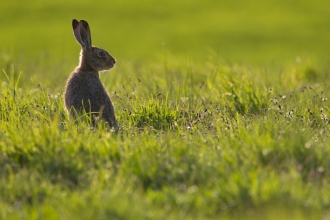 Hare looking right in a green field