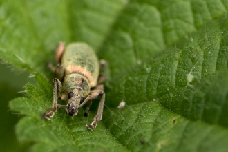 Nettle Weevil - Chris Lawrence
