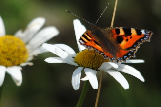 Small tortoiseshell on daisy