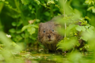 Water Vole looking at the camera