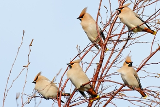 Waxwing (Bombycilla garrulus) feeding on Cotoneaster berries in supermarket car park