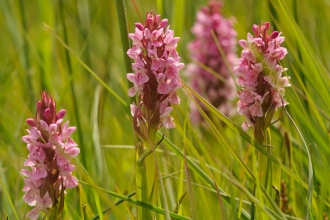 South-marsh orchids