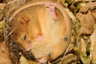Hazel dormouse sleeping in leaf litter