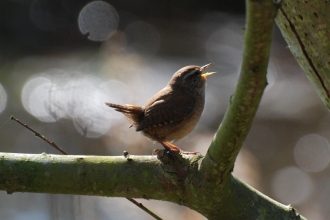 A wren perched on a branch singing