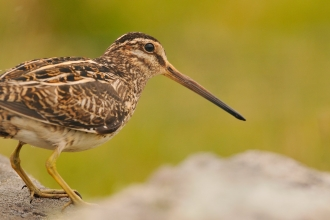 A snipe perched on a rock