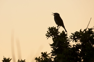 A sedge warbler silhouetted against a yellowing dawn sky