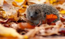 Hedgehog - Tom Marshall