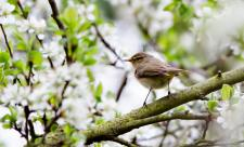 Chiffchaff at Dog House Grove - Richard Nicoll