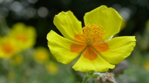 Common Rock-rose