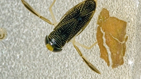 Lesser Water Boatman