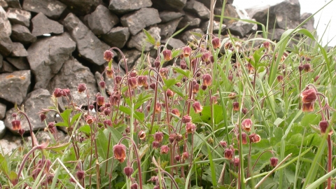 Water Avens