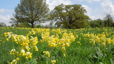 Cowslips at Fulbourn Fen by Mark Ricketts May 2013
