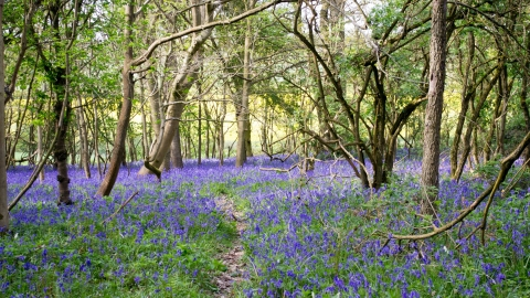 Bluebells at Southwick Wood