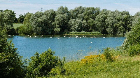 Swans at Grafham Water
