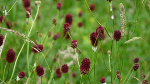 Great Burnet at Boddington Meadow NR