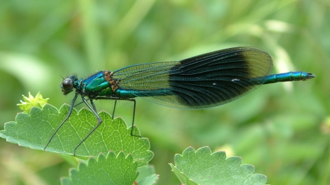 Banded Demoiselle on Great Burnet at Mill Crook