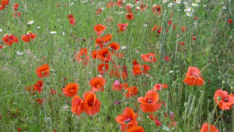 Poppies in arable beside Totternhoe credit. Graham Bellamy