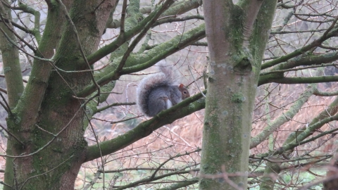Grey squirrel at Priory Park