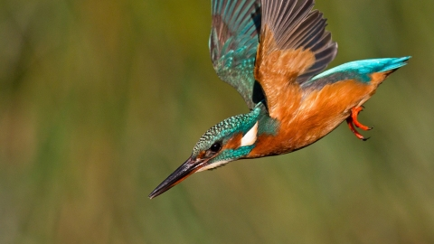 Kingfisher in flight about to dive