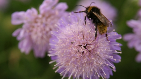 Field scabious and bee