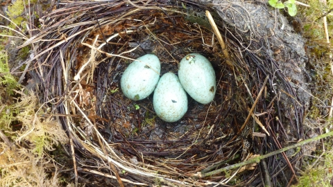 Blackbird nest with three eggs