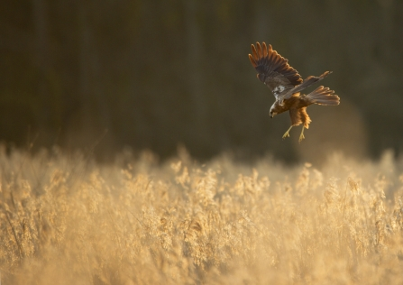 Marsh harrier over reeds