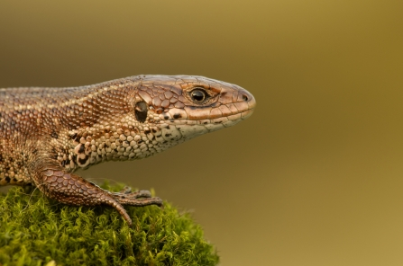 Common lizard - Danny Green/2020VISION