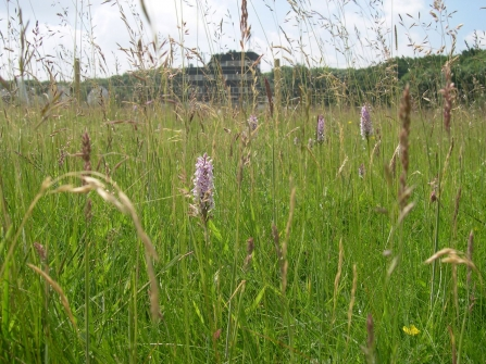 Common Spotted Orchids at the Arqiva site