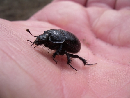 A dung beetle on Nancy's hand