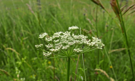 Moon carrot at Knocking Hoe NR -