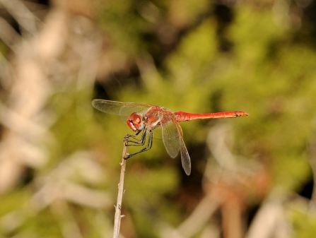 A red-veined darter dragonf;y at rest on a small twig