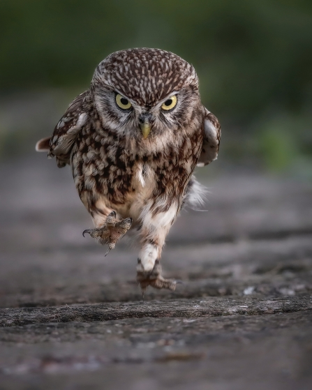 A Little Owl running along the ground