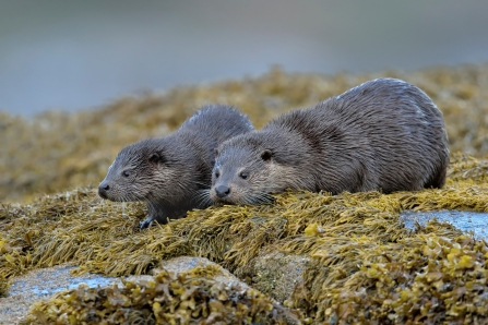 An adult otter and her cub - Isle of Mull.