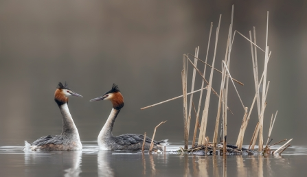 Two grebes facing each other as part of their courtship dance