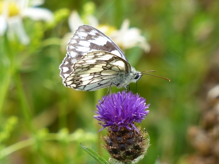 Marbled white on knapweed at Cambourne Nature Reserve