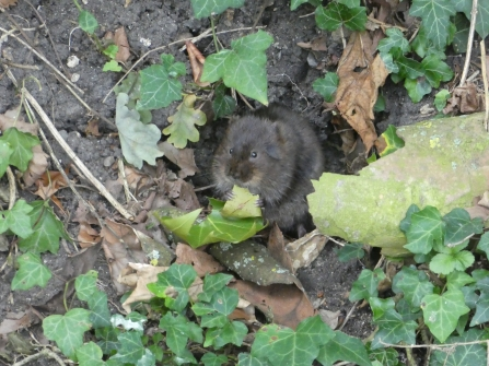 Water vole at Jesus College credit Rhona Watson
