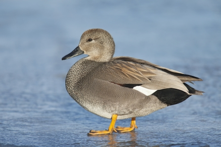 Gadwall male - Dabbling ducks