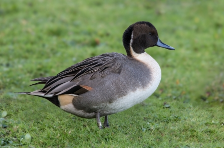 Male Pintail - Dabbling Ducks