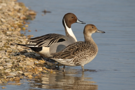 Pintail - Dabbling Ducks