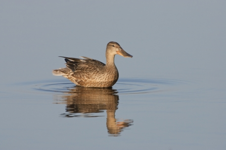 Female Shoveler - Dabbling Ducks