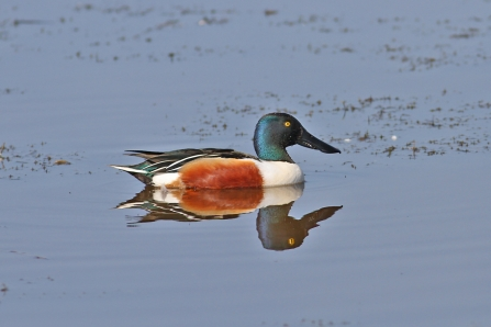 Male Shoveler - Dabbling Ducks